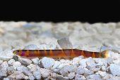 stock photo of loach  - Kuhli Loach Catfish Pangio kuhlii on gravel - JPG