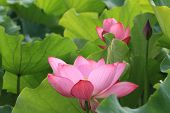 foto of yellow buds  - blooming pink lotus flowers and bud in the lake - JPG