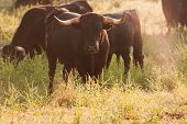 ������, ������: Fighting Bulls Breed Free range