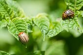 pic of potato bug  - Colorado beetles on potato leaf  - JPG