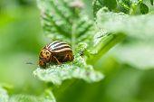 foto of potato bug  - Colorado beetle insect on potato leaf  - JPG