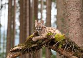 image of mountain lion  - Puma concolor kitten called mountain lion in forest - JPG