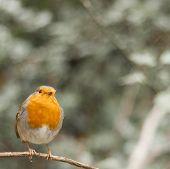 foto of robin bird  - Bird Robin  - JPG