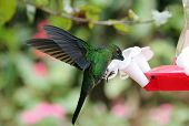 picture of hermit  - Green Hermit Hummingbird  - JPG