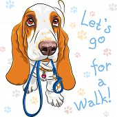 stock photo of basset hound  - Tan and White dog Basset Hound breed wants to walk with a leash in mouth - JPG