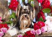 image of beaver  - Beaver york terrier and pink roses - JPG