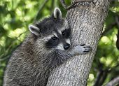 pic of raccoon  - Young - JPG