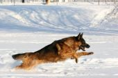 stock photo of german shepherd dogs  - Dog of breed a German shepherd running in deep snow - JPG