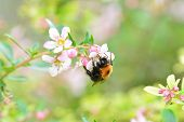 stock photo of bumble bee  - A bumble bee on a pink flower - JPG