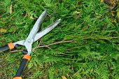 picture of prunes  - Pruning bushes in the garden - JPG