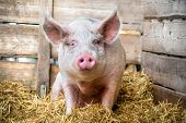 stock photo of pig-breeding  - Pig on hay and straw at pig breeding farm - JPG