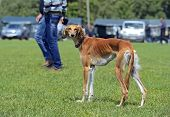 picture of greyhounds  - Greyhound at a dog show in the spring - JPG
