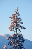 image of laplander  - beautiful spruce during sunset at Lapland winter - JPG