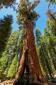 stock photo of sequoia-trees  - Giant sequoia trees in Sequoia National Park - JPG