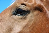foto of tear ducts  - A closeup of a horse with a fly getting moisture from its tear duct