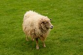 picture of suffolk sheep  - Photo of a golden sheep standing on grass - JPG
