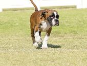 foto of blunt  - A young beautiful fawn red mahogany and white medium sized Boxer puppy dog with cropped ears walking on the grass - JPG