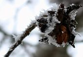 pic of walnut-tree  - walnut tree with bare branches in frost - JPG