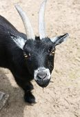 stock photo of pygmy goat  - Portrait photo of a curious looking black pygmy goat - JPG