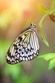 stock photo of nymphs  - Beautiful paper kite butterfly  - JPG