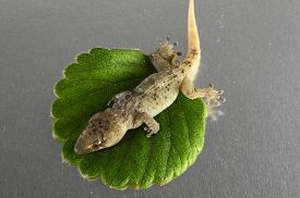 foto of hemidactylus  - One Small Gecko Lizard and Green Leaf on a Colored Background - JPG