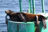 stock photo of sea lion  - A California Sea Lion napping on a marker buoy - JPG