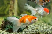 foto of goldfish  - Red cap oranda goldfish in an aquarium - JPG