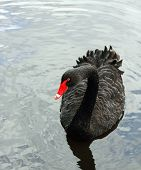 stock photo of black swan  - close up of a Black Swan swimming on a lake - JPG