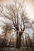 picture of memorial  - Survivor Tree That Withstood 9 - JPG