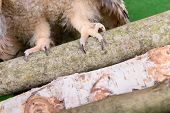 stock photo of claw  - paws and claws of birds owl on wood - JPG
