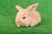 stock photo of cony  - little newborn rabbit on a green background - JPG