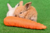 pic of cony  - two newborn little rabbit eating a carrot on a green background - JPG