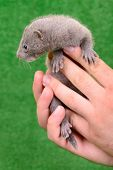 foto of mink  - small gray animal mink on a human hand on a green background - JPG