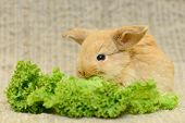 picture of cony  - newborn little brown rabbit with long ears - JPG