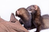 picture of ferrets  - two small animal rodent ferret on a white background - JPG