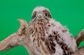 stock photo of hawk  - young chick hawk sitting on a wooden driftwood on a green background - JPG