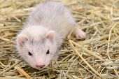pic of ferrets  - small animal rodent ferret sits on dry hay - JPG