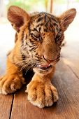picture of tigers  - Baby tiger in Tiger Temple near Bangkok in Thailand - JPG