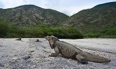 pic of lagos  - Iguanas living at the entrance of the Parque Nacional Isla Cabritos at the Lago - JPG