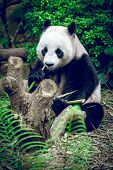 picture of panda  - Hungry giant panda bear eating bamboo - JPG