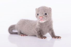 stock photo of mink  - small gray animal mink on white background - JPG