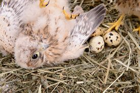 pic of falcons  - young falcon bird with eggs lies in a straw nest - JPG