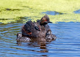 image of marshlands  - On a small patch of marshland in the Alberta prairies three Eared Grebe chicks wait impatiently to be fed by the other parent - JPG