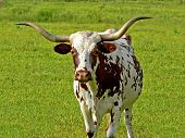 stock photo of texas-longhorn  - teaxs longhorn red and white speckled cow walking towards me - JPG