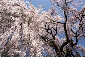 pic of weeping  - Large weeping cherry blossoms under blue sky - JPG