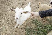 Fondling A Goat On A Farm poster