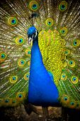 picture of peahen  - Peacock - JPG