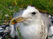 The Seagull Has A Rest On A Beach In Seaweed. Big Picture poster