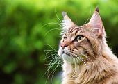Close up portrait of black tabby Maine Coon cat on green background with copy-space and sunlight. Ad poster