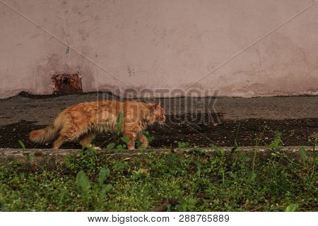poster of Long Haired Red Cat Goes On Cat Affairs, Outdoor Cat, Red Tabby Longhair Furry Cat, Cat Explorer